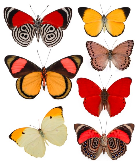 butterflies-evolution-taxidermy-authetic