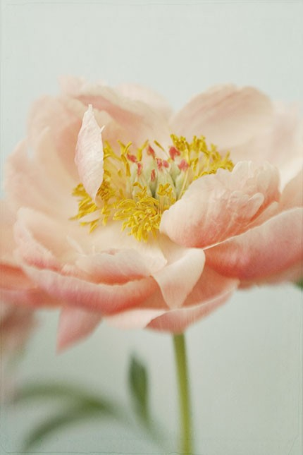 peony-coral-single-vase-stem