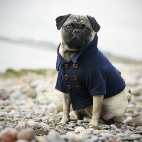 Pug-Dog-By-Sea-Beach