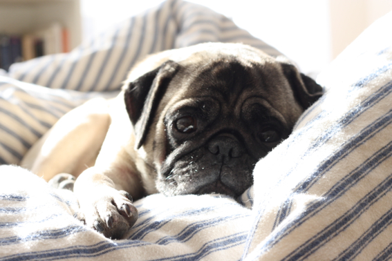 Alfred the Pug