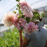 Dahlias at the Floret Flower Farm