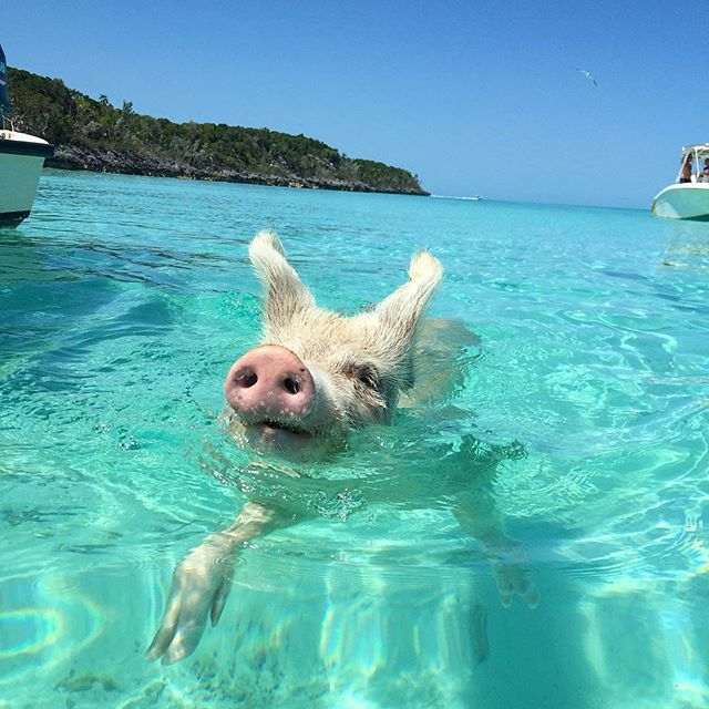 Pig-Beach-Swimming-Big-Major-Cay-Bahamas-10