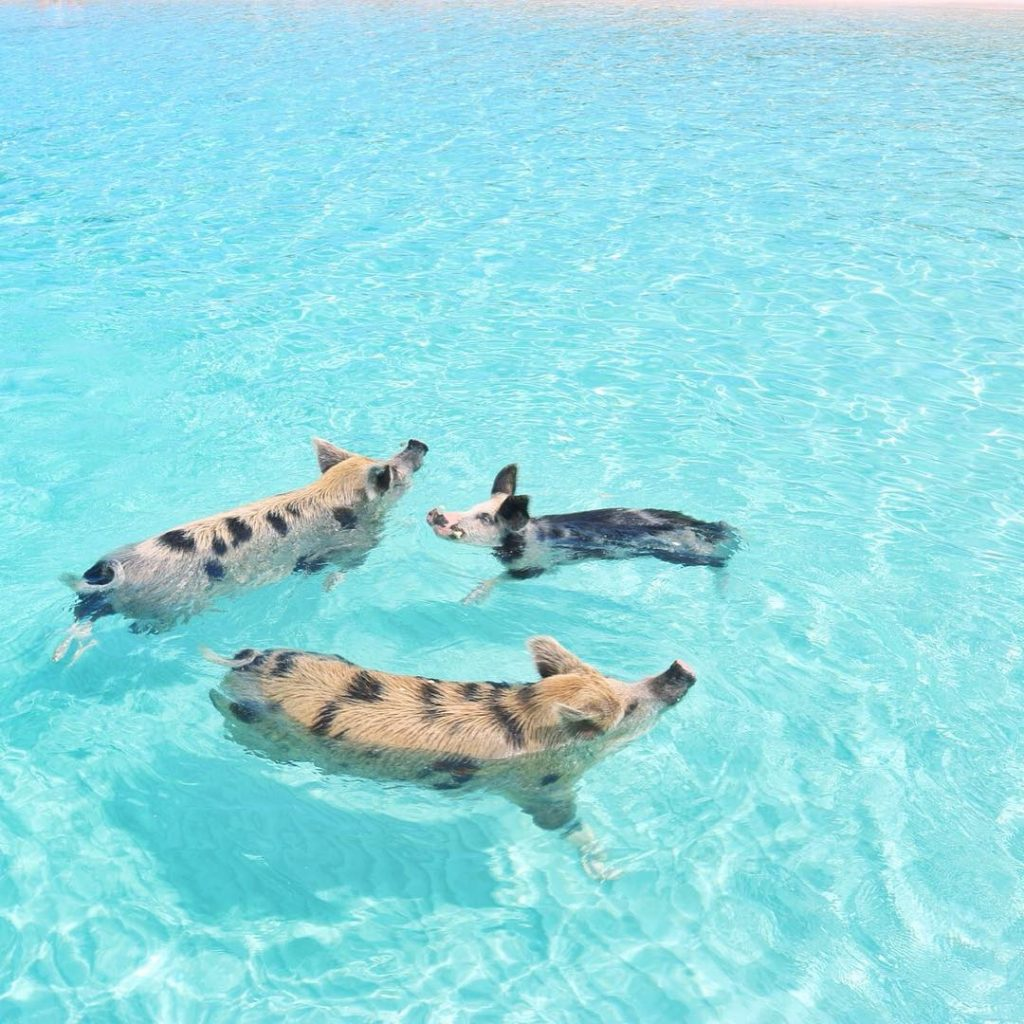 Pig-Beach-Swimming-Big-Major-Cay-Bahamas-2