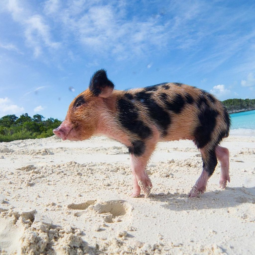 Pig Beach Swimming Major Cay Bahamas 5