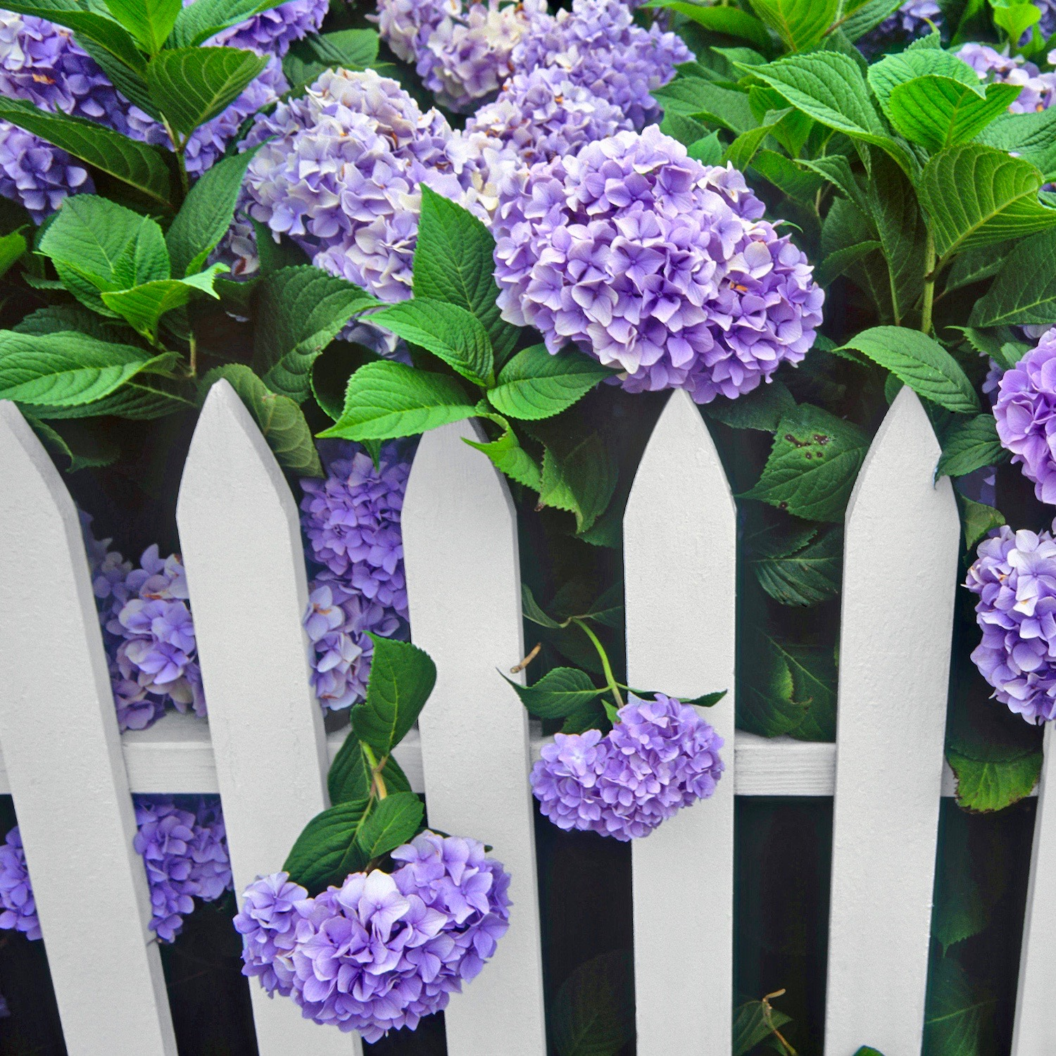 Purple Hydrangea White Picket Fence Gate