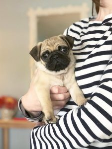Meet Wilbur the Pug (and The Daily Hunt)!